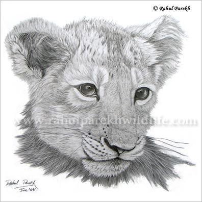 Asiatic Lion Cub drawing Sold in UK