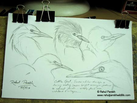 Cattle Egret Sketches