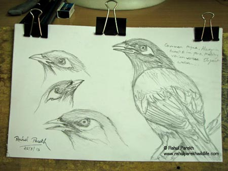 Common Myna Sketches