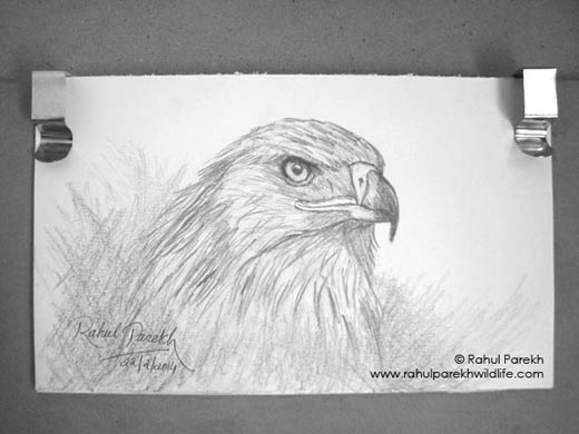 Imperial Eagle Sketch