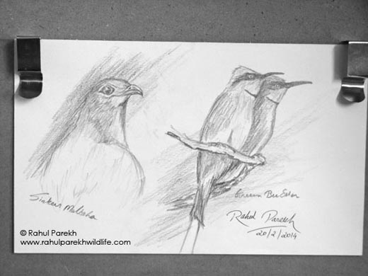 Sirkeer and Green bee eater sketch